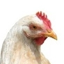 What Sound does a hen make ?