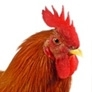What sound does a rooster make?