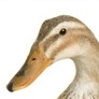 What Sound does a goose make ?
