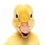 What Sound does a duck make ? - quack quack